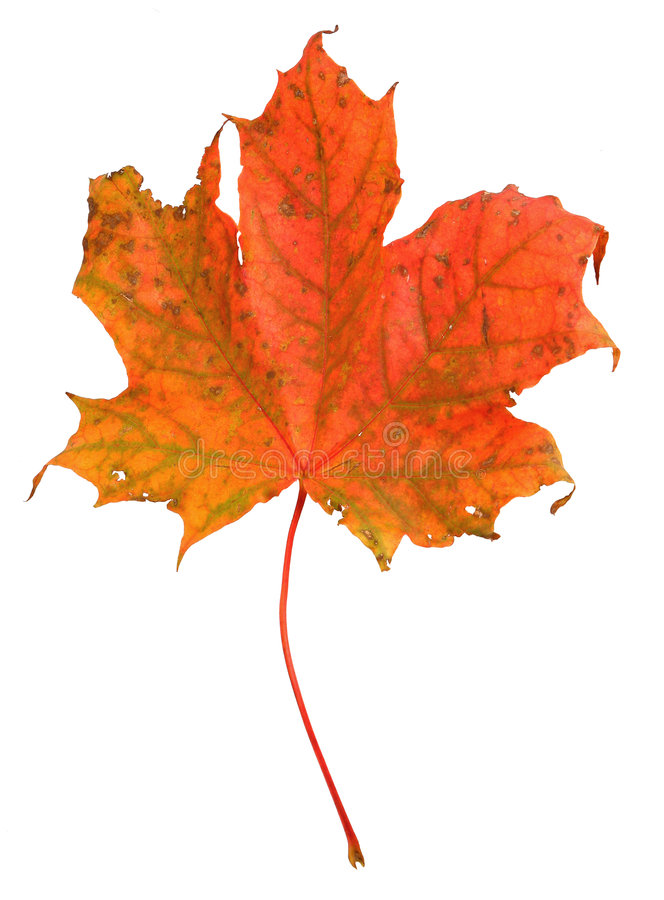 Free Maple Leaf Stock Photo - 3247250