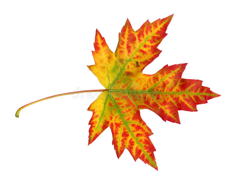 Maple leaf in autumn, Acer platanoides. Top side of the leaf surface, isolated stock images