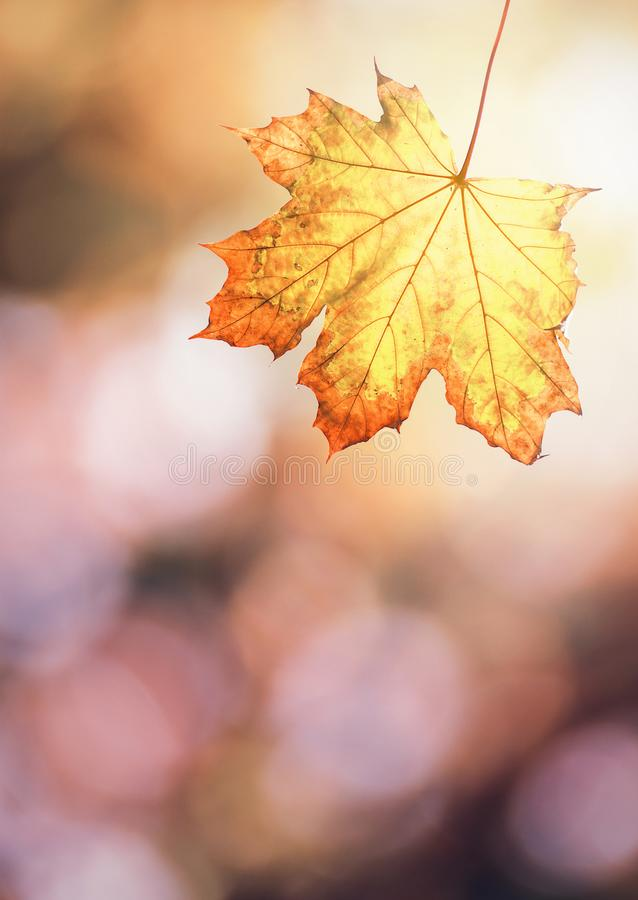 Maple leaf in autumn colors. On blurred background.Autumn season royalty free stock photos