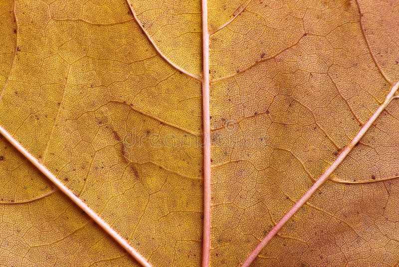 Maple leaf close-up texture stock images