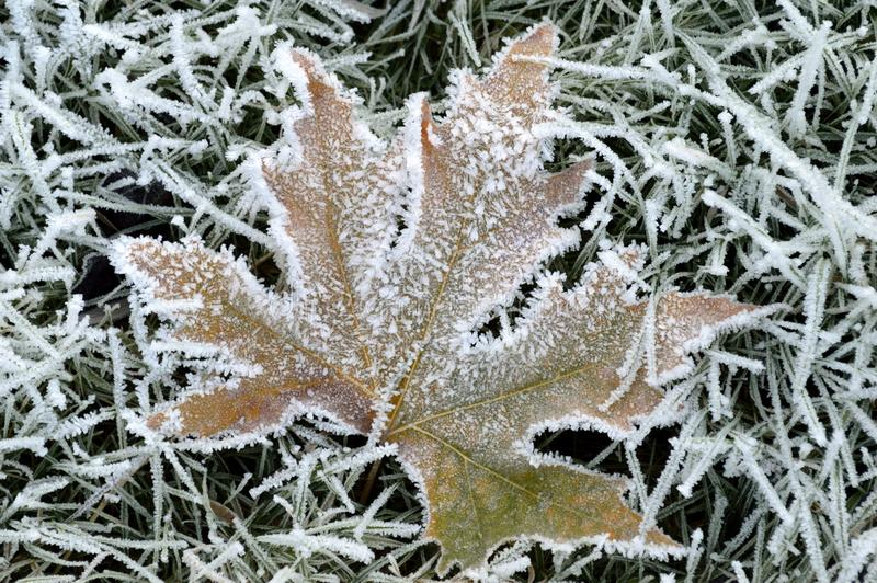 Maple leaf covered with ice crystal. Capture of fallen maple leaf covered with ice crystal. The photo was taken in the forest the last days of November royalty free stock photography