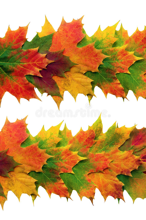 Maple Leaf Design. Autumn maple leaf abstract design in vivid colors in two horizontal lines over white background vector illustration