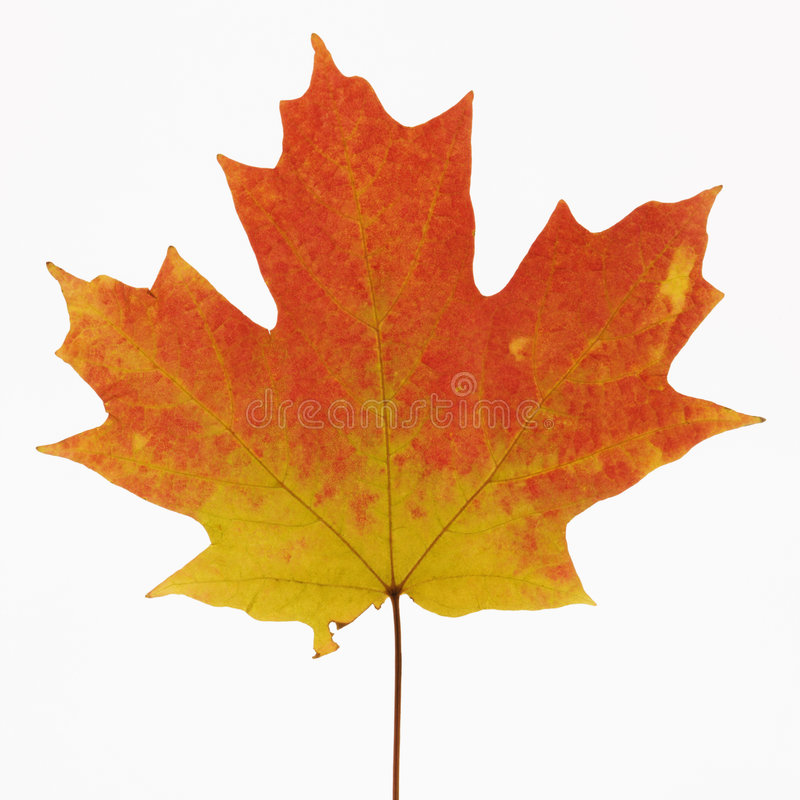 Maple leaf in Fall color. royalty free stock images