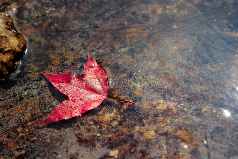 Maple leaf floating in the water royalty free stock images