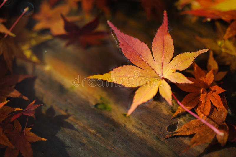 Maple leaf floating on water stock images