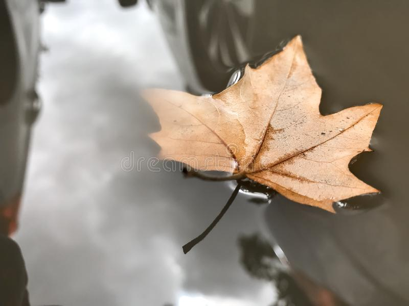 Maple leaf floating on a water puddle royalty free stock photos