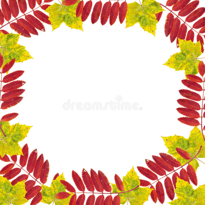 Maple leaf frame. Maple and mountain ash leaf frame on white royalty free stock photo