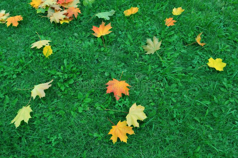 Maple leaf on green grass royalty free stock photo