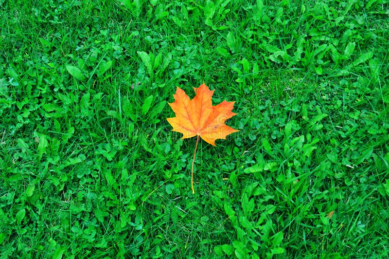 Maple leaf on green grass royalty free stock image