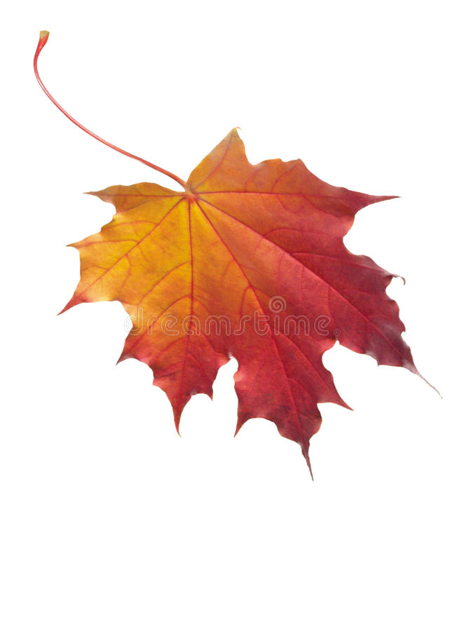 Free Maple Leaf Isolated Stock Photo - 10731710