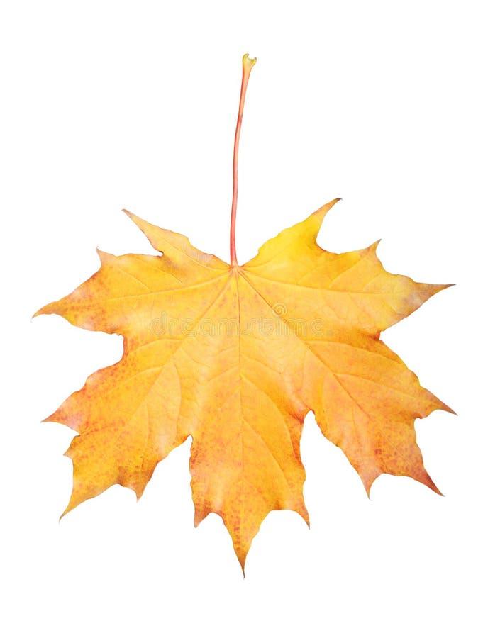 Download Maple Leaf Stock Image - Image: 30140241