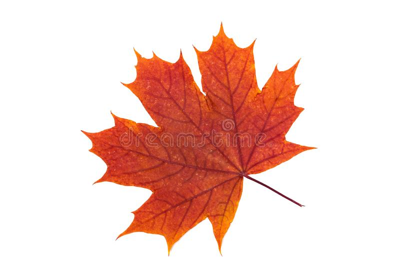 Maple leaf isolated on white. orange, red autumn leaves. Top view. High resolution photo. Macro image of herbarium. Autumn maple leaf isolated on white stock images