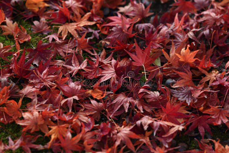 Japanese maple leaves on a mossy green area. stock photo
