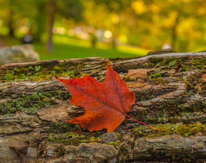 Maple Leaf On A Log stock image