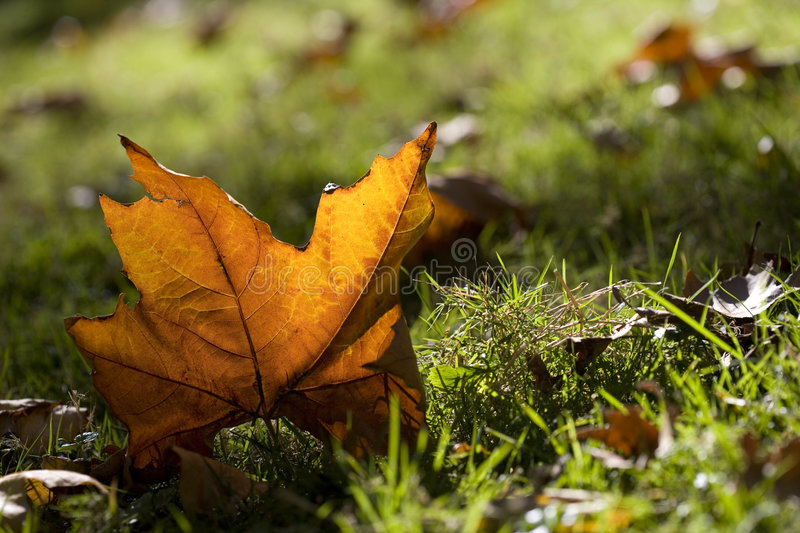 Maple leaf lying in the grass stock image
