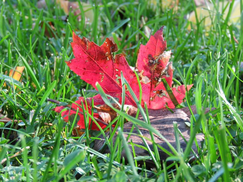 Maple Leaf. In Fall - Autumn royalty free stock images