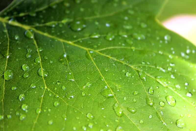 Maple leaf with raindrops royalty free stock images
