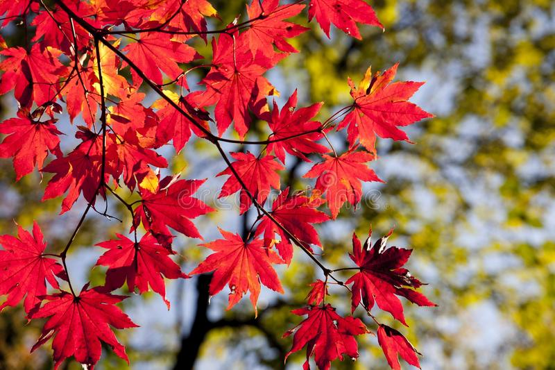 Maple Leaf, Red, Leaf, Autumn