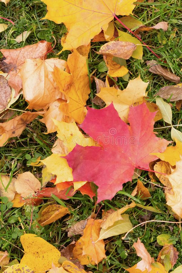 Maple leaf red yellow on green grass colorful background flora city park autumn landscape stock photos