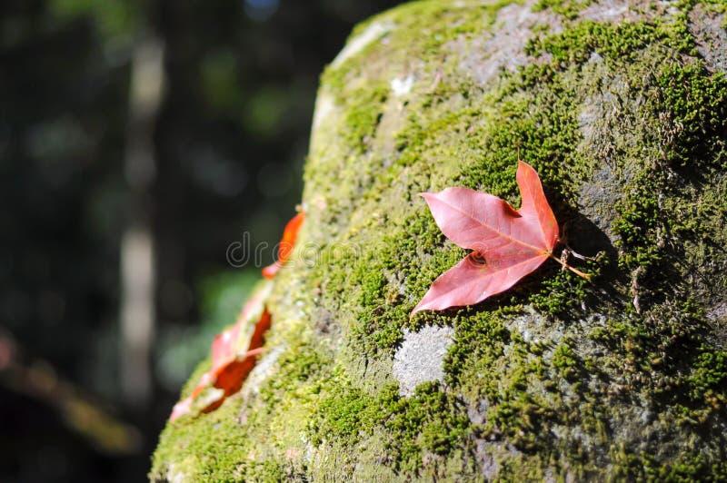 Maple Leaf stock image