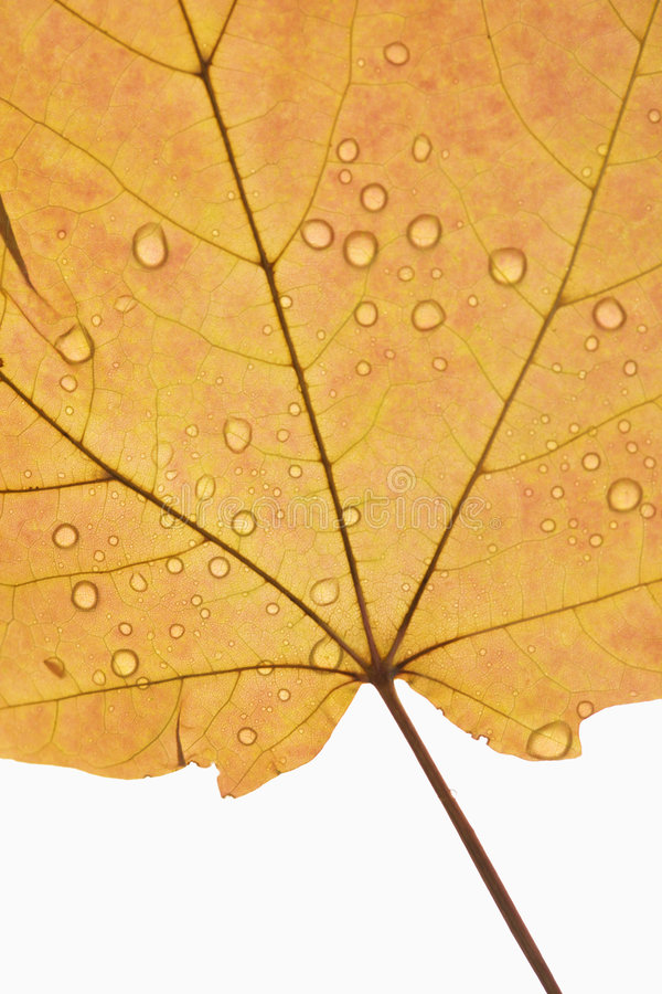 Maple leaf sprinkled with water. stock photo