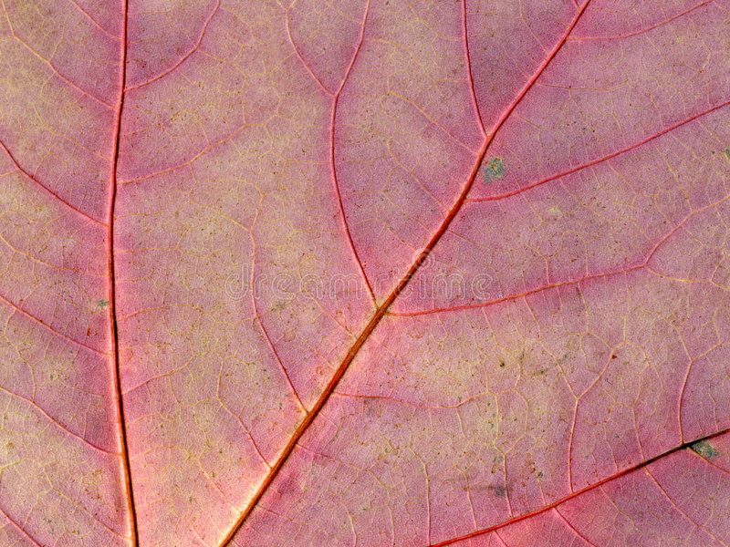 Maple Leaf Texture stock image