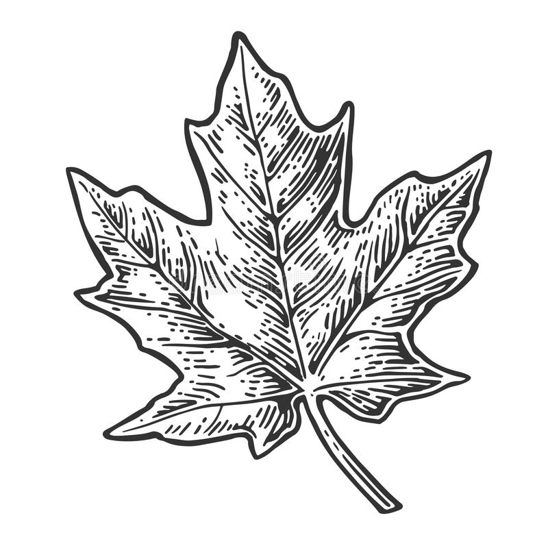 Free Maple Leaf. Vector Vintage Engraved Illustration. Royalty Free Stock Photos - 74822748