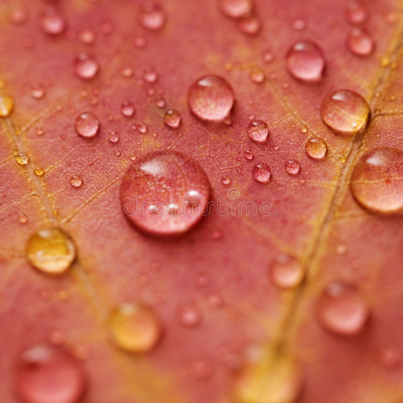 Maple leaf with water drops stock photos