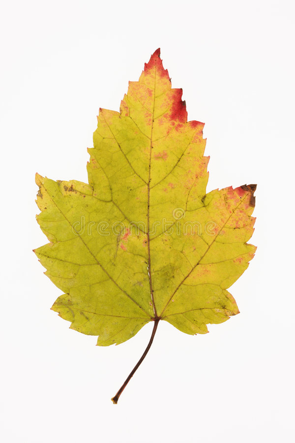 Maple leaf on white. royalty free stock photography