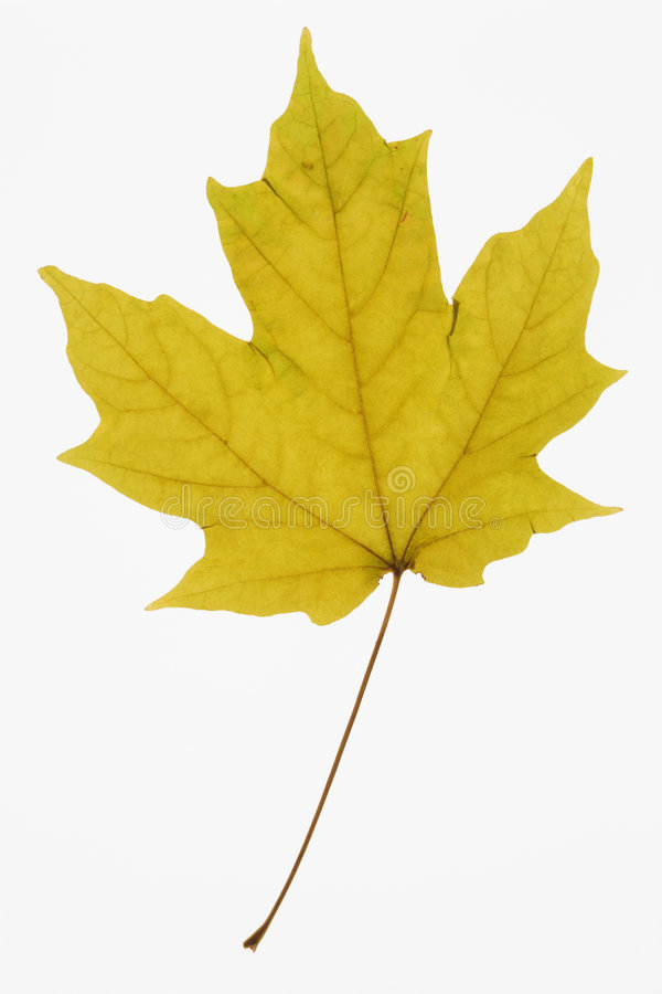Maple leaf on white. royalty free stock photos