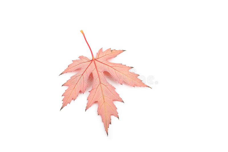 Download Maple leaf whith veins stock photo. Image of life, ecology - 11533998