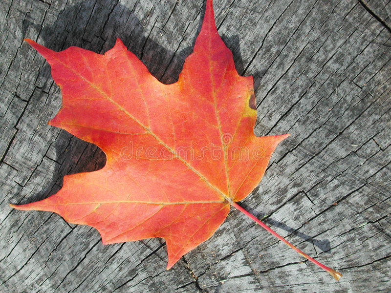 Download Maple leaf on wood stock image. Image of background, fall - 334985