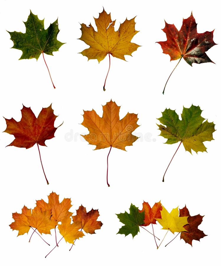 Download Maple leafs stock photo. Image of herbarium, natural - 11853550