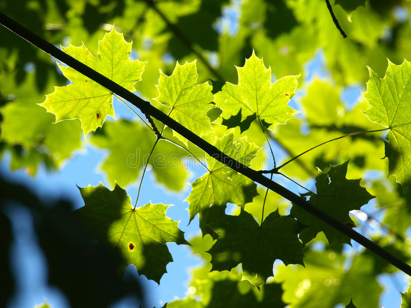 Download Maple Leafs stock photo. Image of shining, trees, fall - 3237682