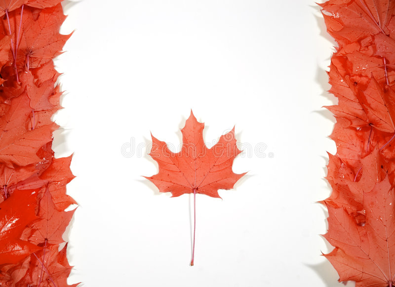 Maple leafs royalty free stock photography