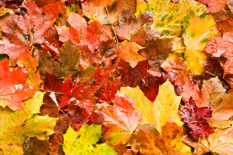 Maple leafs. A background of bright colored red and yellow maple leafs stock photography