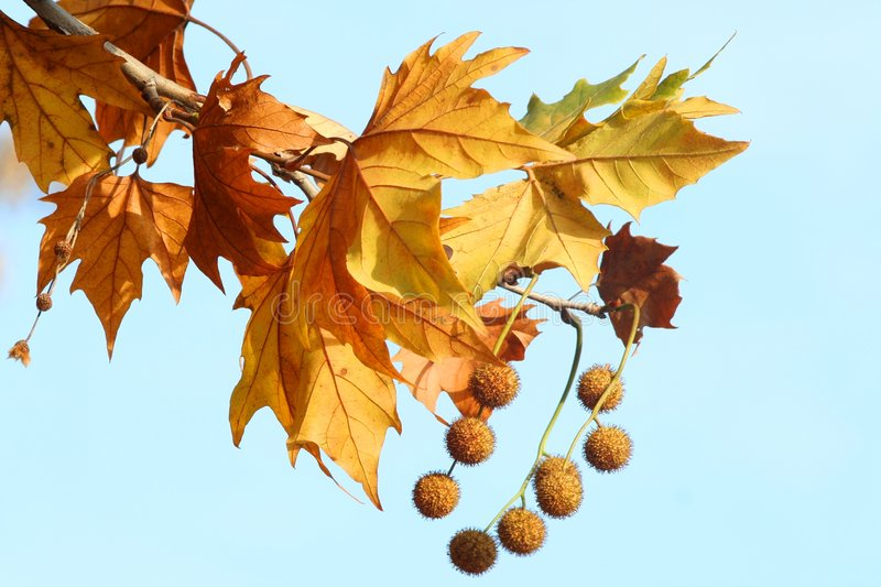 Maple leafs and acorns stock image