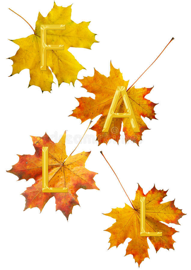 Maple leafs for fall. Red maple leafs for fall stock photo