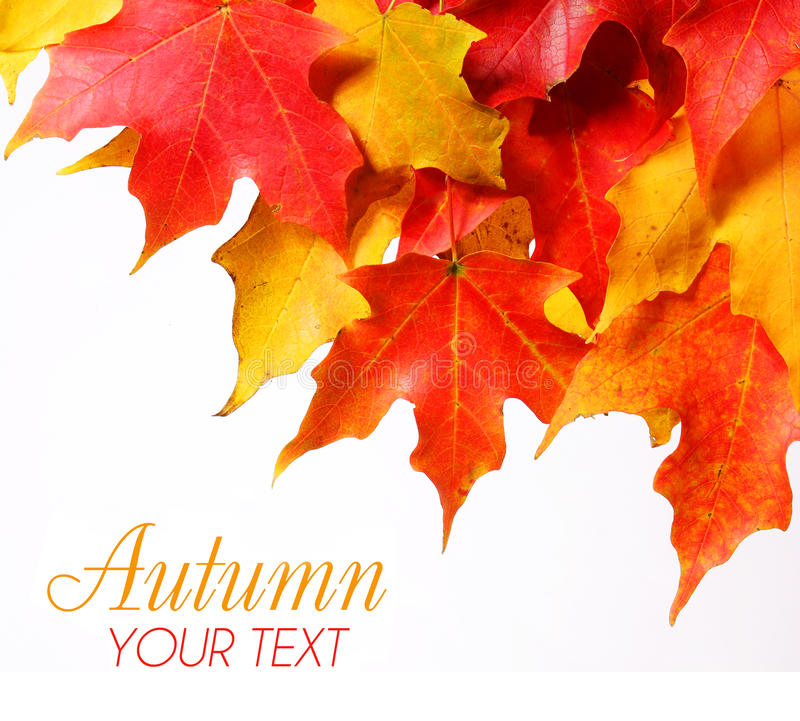 Free Maple Leafs With Copy Space Over White. Fall Or Autumn Royalty Free Stock Photos - 34643578