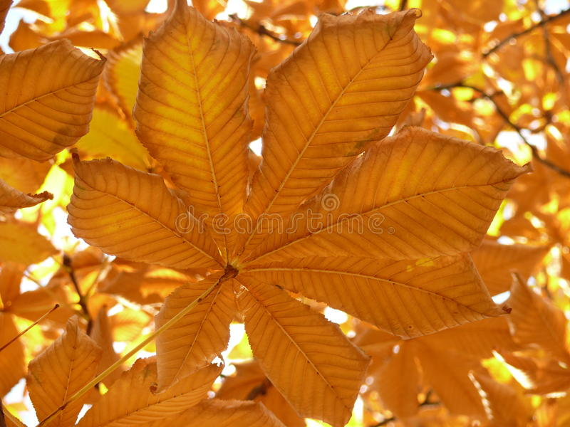 Download Maple Leave Royalty Free Stock Photography - Image: 11182087