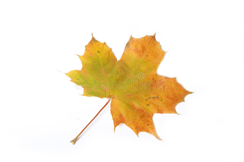 Download Maple leave stock photo. Image of delightful, pretty, leafs - 3283772