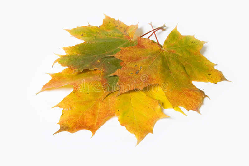 Download Maple leave stock photo. Image of maple, excellent, fall - 3283780