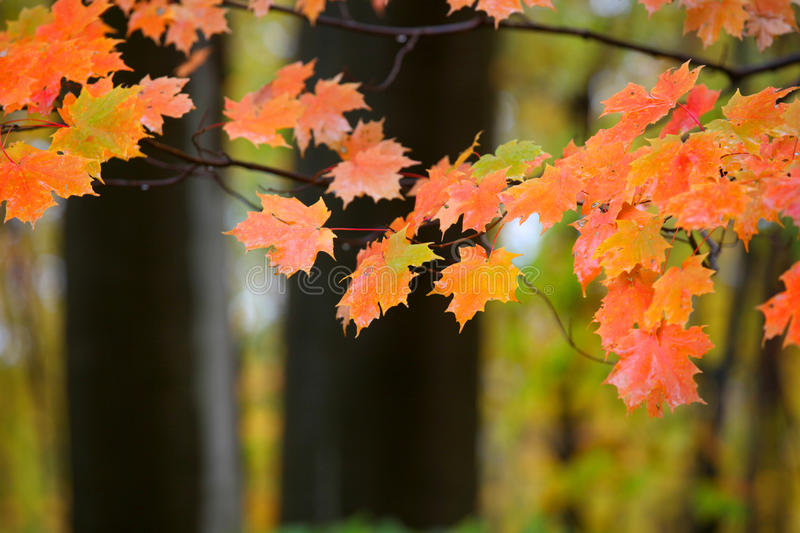 Maple leave stock image