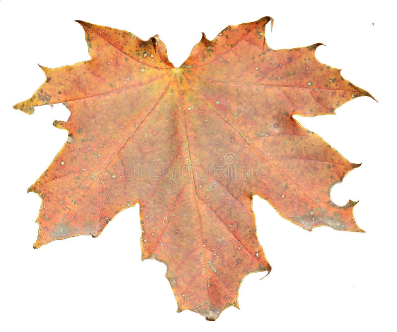 Maple leave isolated royalty free stock photos