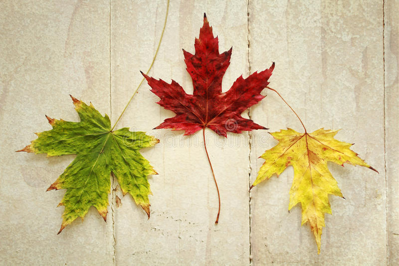 Maple leave royalty free stock photos