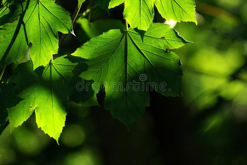 Download Maple Leaves Royalty Free Stock Images - Image: 11054279
