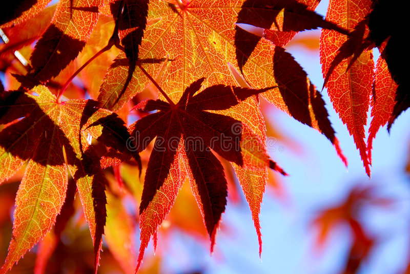 Download Maple leaves stock photo. Image of branch, october, colorful - 1225570