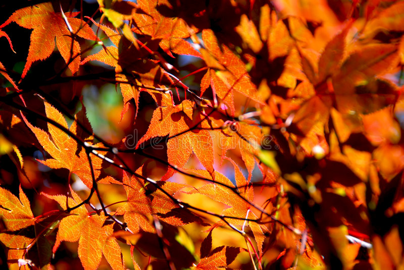 Download Maple leaves stock photo. Image of fall, nature, macro - 1238224