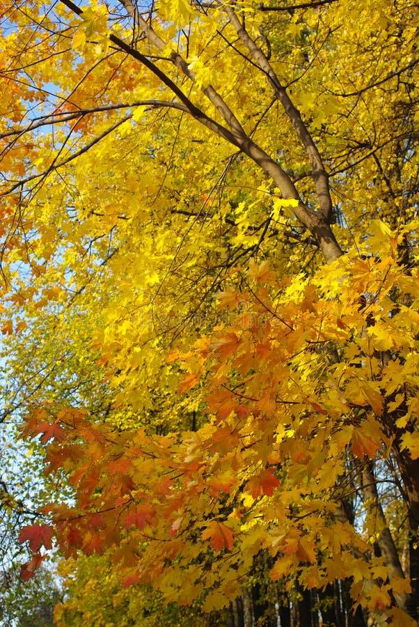 Maple leaves stock photo