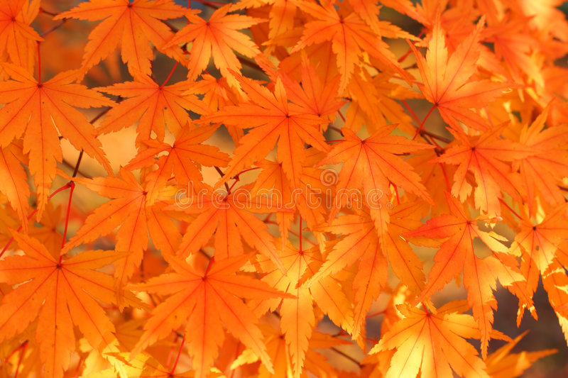 Download Maple leaves stock photo. Image of park, maple, crowd - 1636536